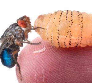 Заражение личинками мух