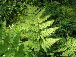 Препарат изготавливается из корня растения Мужской папоротник