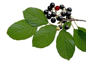 Плоды крушины